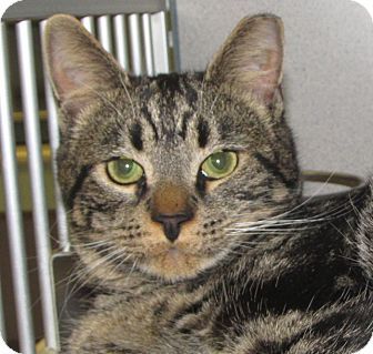 Domestic Shorthair Cat for adoption in Walden, New York - Tahoe