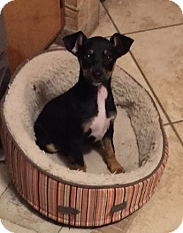 Miniature Pinscher Mix Puppy for adoption in Cat Spring, Texas - Tuga