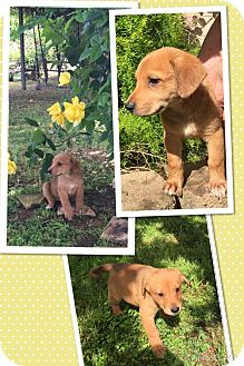 Anatolian Shepherd Mix Puppy for adoption in Scottsdale, Arizona - Catalina