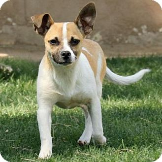 Jack Russell Terrier Mix Dog for adoption in Coachella, California - Sunny Boy