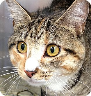 Domestic Shorthair Cat for adoption in Clayville, Rhode Island - Daisy