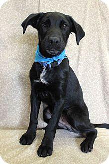 Labrador Retriever Mix Dog for adoption in Westminster, Colorado - Goober