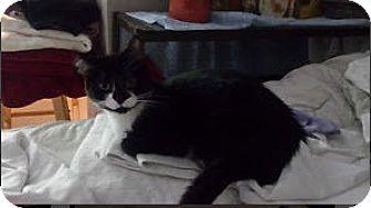 Domestic Shorthair Cat for adoption in Edmonton, Alberta - Jeanie