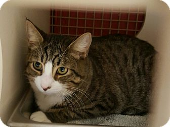 Domestic Shorthair Cat for adoption in Raritan, New Jersey - Joey