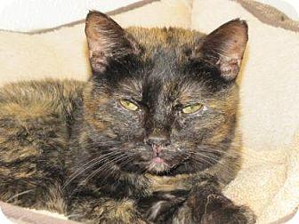 Domestic Shorthair Cat for adoption in Woodstock, Illinois - ZsaZsa