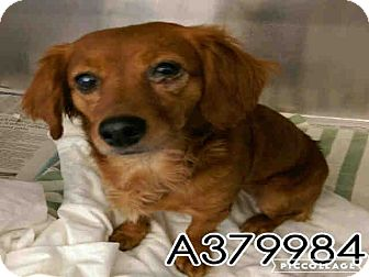 Dachshund Mix Dog for adoption in Redmond, Washington - Scarlet