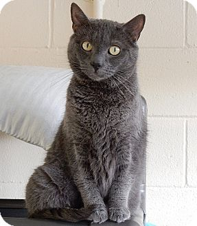 Russian Blue Cat for adoption in Long Beach, New York - Tango