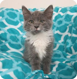 Domestic Mediumhair Kitten for adoption in Mebane, North Carolina - Winnie (the Pooh)