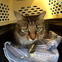 Maine Coon Cat for adoption in Sunny Isles Beach, Florida - Fresca