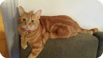Domestic Shorthair Cat for adoption in Los Angeles, California - Miss Nickels