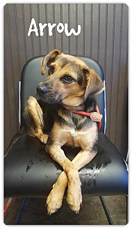 Terrier (Unknown Type, Small) Mix Dog for adoption in Chester, Connecticut - Arrow