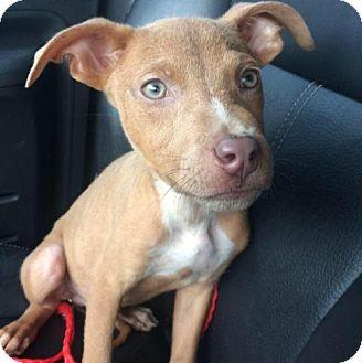 Greyhound/Terrier (Unknown Type, Medium) Mix Puppy for adoption in Sanford, Florida - CasaVerde
