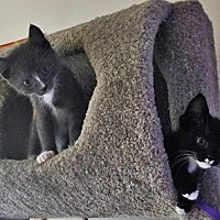 Domestic Shorthair Kitten for adoption in Burbank, California - Bruce & Bob