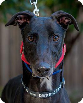 Greyhound Dog for adoption in Walnut Creek, California - Blaze