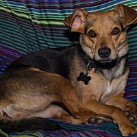 Beagle Mix Dog for adoption in Midlothian, Virginia - Bea the Beagle/Orchid