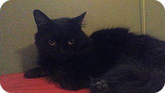 Domestic Longhair Cat for adoption in Columbus, Ohio - Lil' Bit