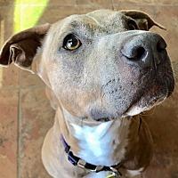 Adopt A Pet :: Percy - Phoenix, AZ