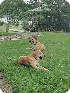 Labrador Retriever Mix Puppy for adoption in Toronto, Ontario - BUTTERCUP