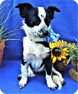 Papillon/Spaniel (Unknown Type) Mix Dog for adoption in Irvine, California - Bella Blue