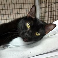 Domestic Shorthair/Domestic Shorthair Mix Cat for adoption in Decatur, Illinois - Inky