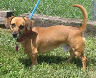 Dachshund Mix Dog for adoption in Chambersburg, Pennsylvania - Canelo