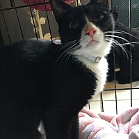 Adopt A Pet :: Gordo - Bedford Hills, NY