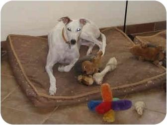 Greyhound Dog for adoption in Albuquerque, New Mexico - Nina