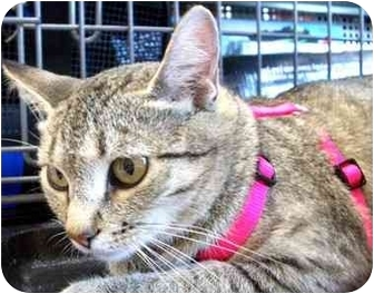 Domestic Shorthair Cat for adoption in Olive Branch, Mississippi - Lady