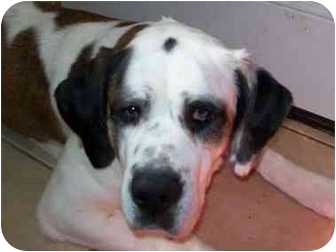 St. Bernard Dog for adoption in Flint, Michigan - Holly