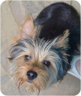 Yorkie, Yorkshire Terrier Puppy for adoption in Greensboro, North Carolina - Randy