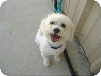 Poodle (Miniature) Mix Dog for adoption in Sachse, Texas - Bam Bam