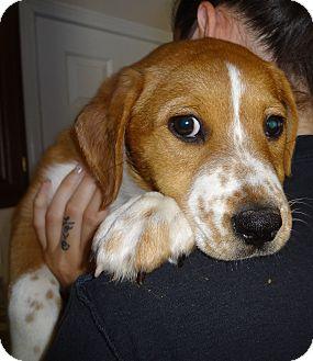 Labrador Retriever/Beagle Mix Puppy for adoption in Nuevo, California - Linus