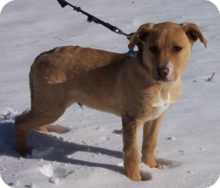 Terrier (Unknown Type, Medium)/Labrador Retriever Mix Dog for adoption in Larned, Kansas - Skutter