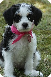 Poodle (Toy or Tea Cup) Mix Puppy for adoption in Glastonbury, Connecticut - Pixie