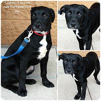 Rottweiler/Pit Bull Terrier Mix Dog for adoption in Evansville, Indiana - Castiel