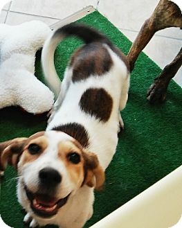 Treeing Walker Coonhound Mix Puppy for adoption in Leesburg, Virginia - Alana