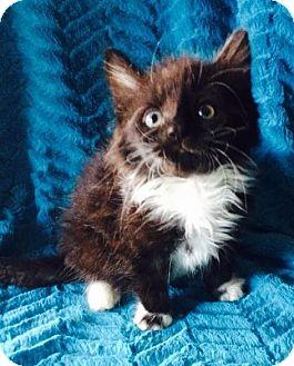 Domestic Longhair Kitten for adoption in Webster, Massachusetts - Spook