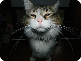 Maine Coon Cat for adoption in Spring Valley, New York - Whiskers