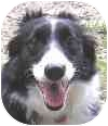 Border Collie Dog for adoption in Eatontown, New Jersey - Tara