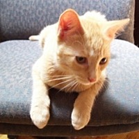 Domestic Shorthair Cat for adoption in St. Charles, Illinois - Flynn
