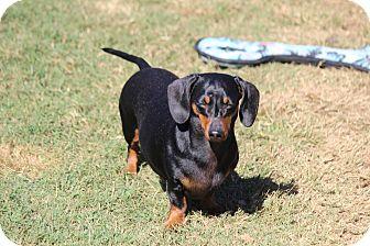 Dachshund Dog for adoption in Greenville, South Carolina - Charlie