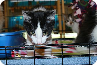 Domestic Shorthair Kitten for adoption in Rochester, Minnesota - Reeses Pieces