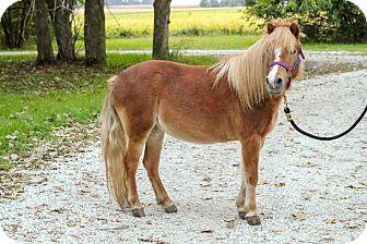 Pony - Other Mix for adoption in Dewey, Illinois - Peaches