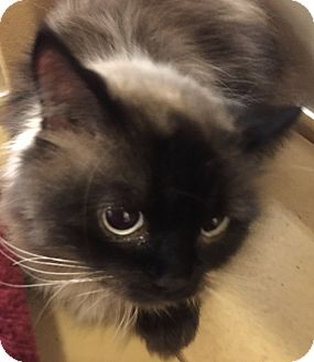 Himalayan Cat for adoption in Monroe, Georgia - Milo