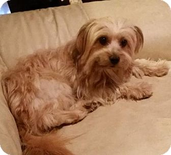 Yorkie, Yorkshire Terrier Dog for adoption in Spring, Texas - Bella