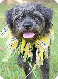 Schnauzer (Miniature)/Shih Tzu Mix Dog for adoption in Denver, Colorado - Precious