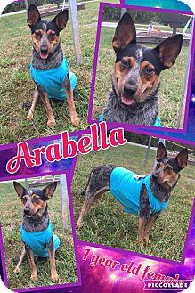 Blue Heeler Mix Dog for adoption in Lexington, North Carolina - Arabella