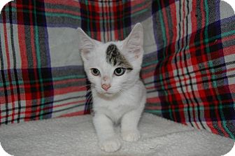 Domestic Shorthair Kitten for adoption in South Haven, Michigan - Pugsley