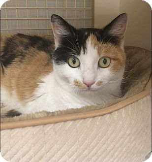 Domestic Shorthair Cat for adoption in Plainville, Connecticut - Cami