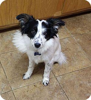 Papillon/Australian Shepherd Mix Puppy for adoption in Spokane, Washington - Blossom**READ ENTIRE PROFILE**